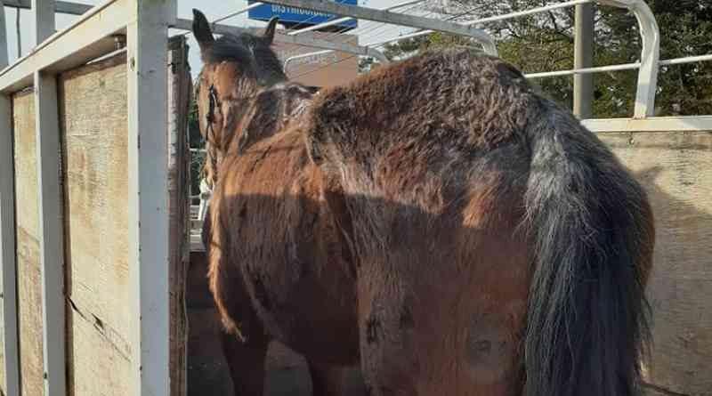 Homem é flagrado pela BM maltratando cavalo em Santa Cruz do Sul, RS